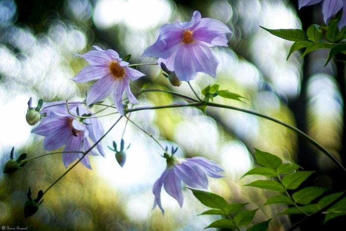 Foto de ensueño de flores púrpuras con un remolino bokeh de fondo causado por aberraciones de la lente