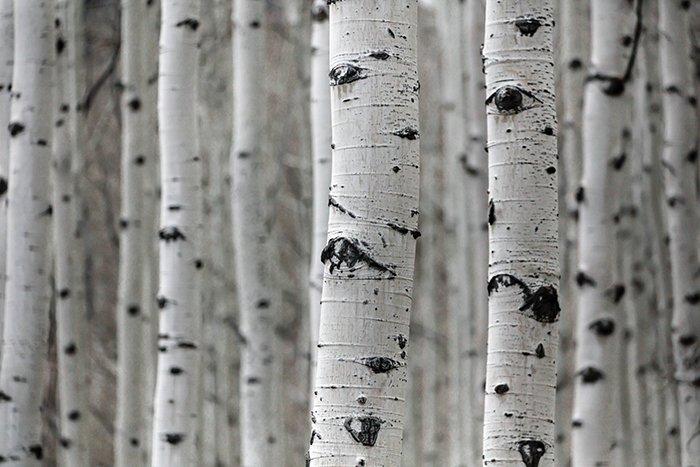 Un bosque de abedules destacando la textura rugosa en la fotografía
