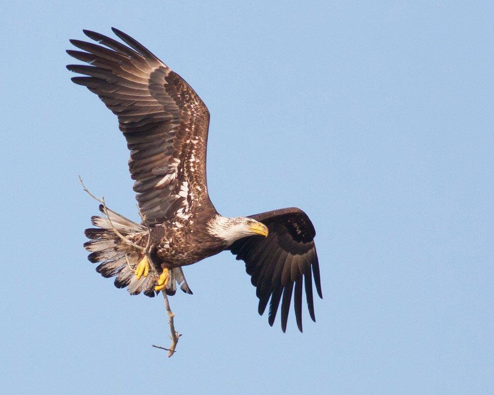 Fotografía de un águila en vuelo.  Los 10 ingredientes secretos principales de la fotografía profesional revelados