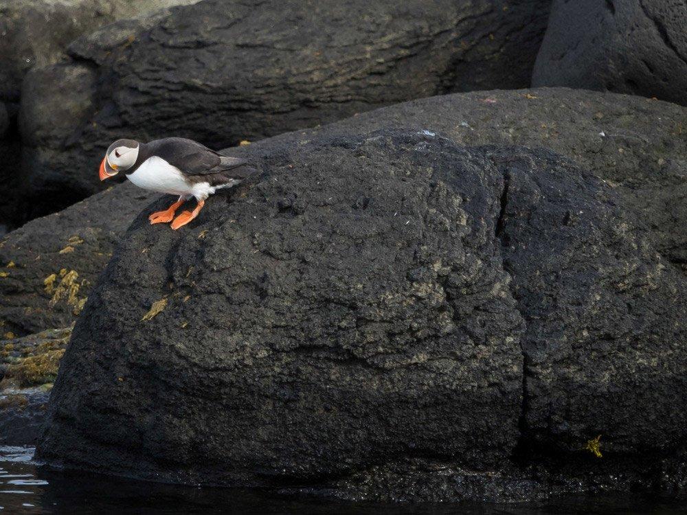 Una foto de un frailecillo de pie sobre una roca negra mirando hacia el agua.  Fotografía profesional.
