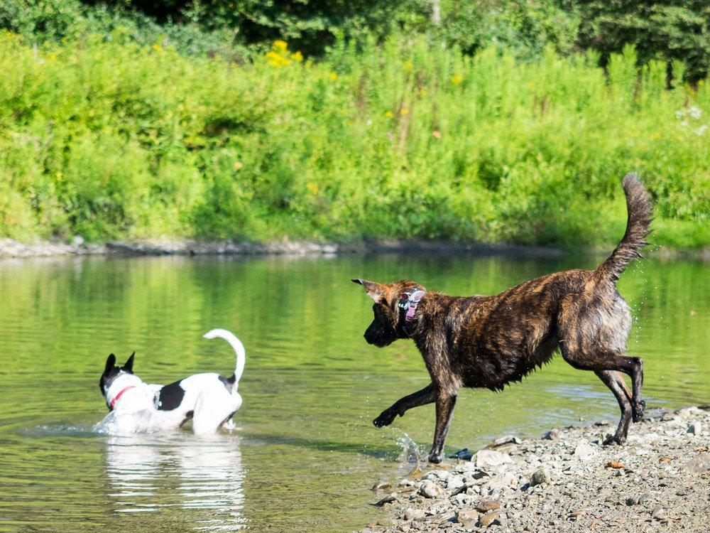 Foto de dos perros corriendo hacia un lago con vegetación de fondo