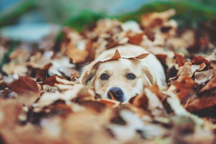 Retrato de fotografía de mascota adorable de un perro labrador cubierto de hojas de otoño - tipos de fotos de archivo